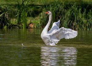 Swan bathing in river water